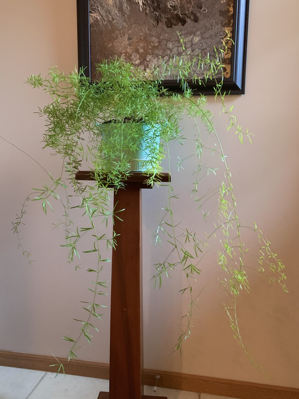 A light-green asparagus fern with fronds draping down from its pot.