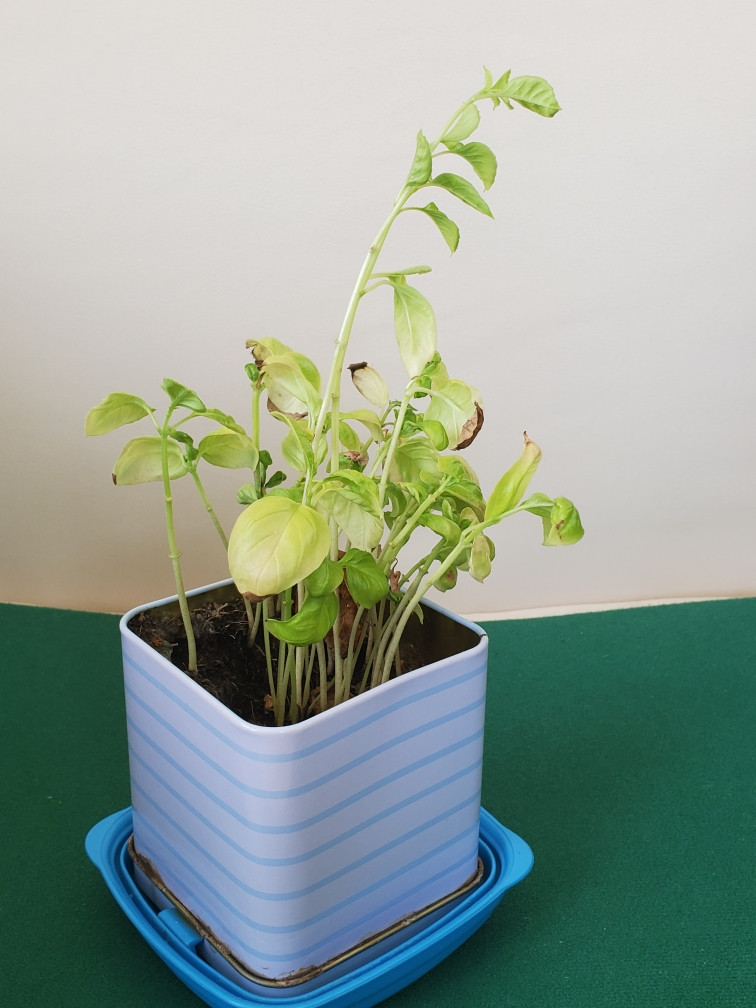 Basil plant growing in a square, blue pot.
