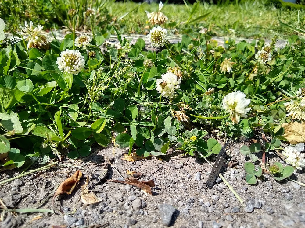 White clover plants with white flowers along a roadside