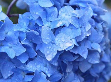 Hydrangea: A Tiny (Plant) Love Story