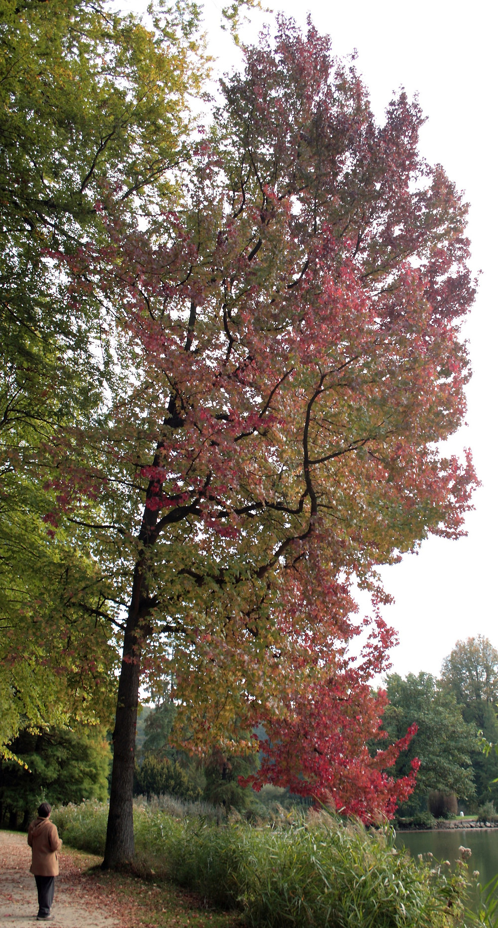Sweetgum tree with red fall leaves along a path and lake