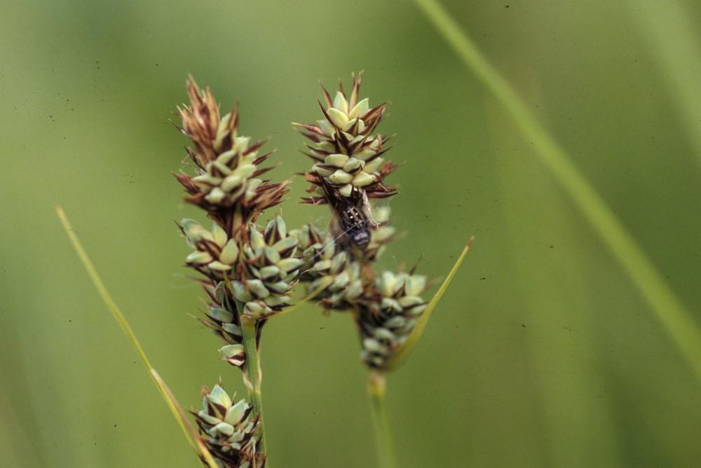 Carex buxbaumii (Buxbaum's sedge) – UW Arboretum, WI