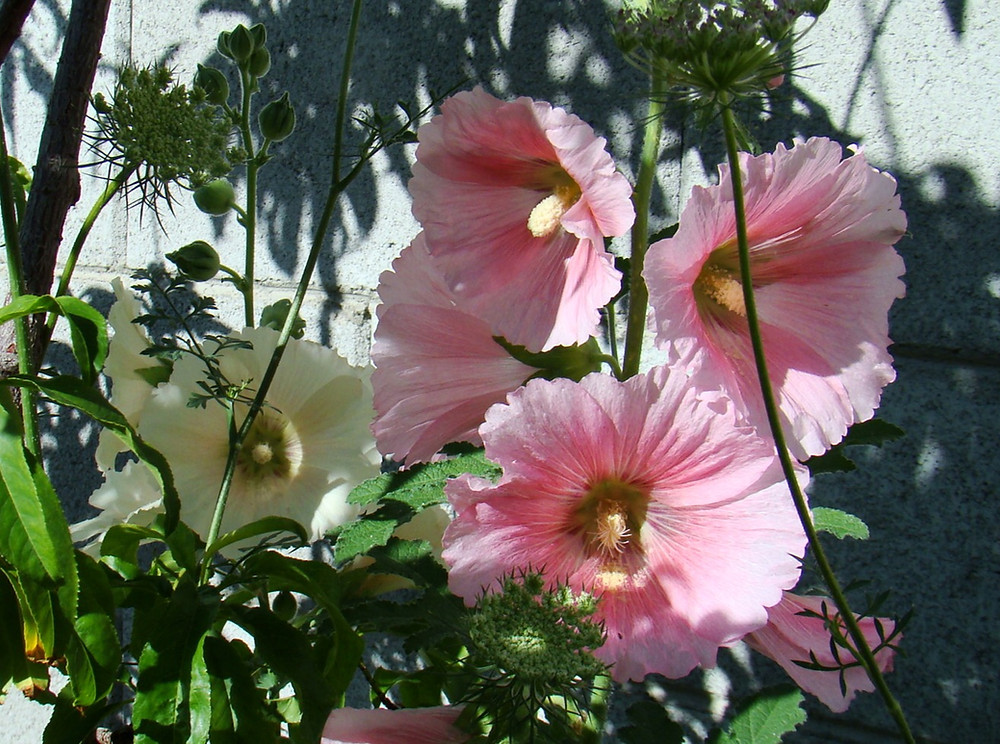 pink and white hollyhock flowers grown by the author
