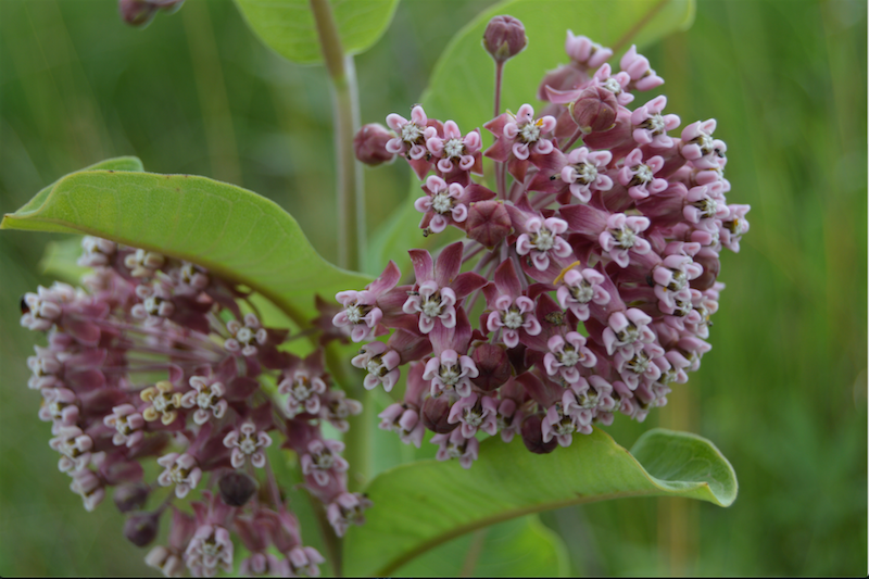 The Fragrance of Milkweed