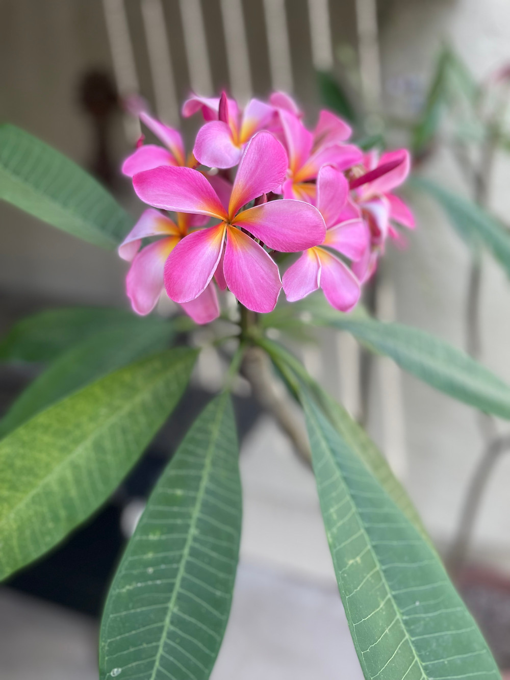 A cluster of plumeria flowers. The flowers have 5 petals which are bright pink, with orange bases.