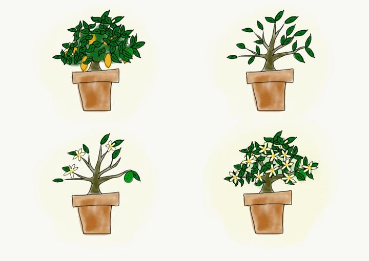When life gives you a lemon tree
