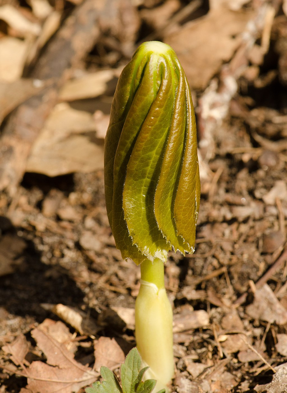 The modest mayapple