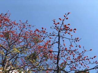Distance photo of a tall tree with red flowers