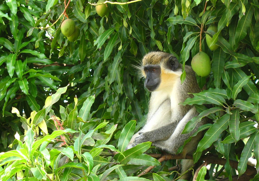 Monkey and Mangoes