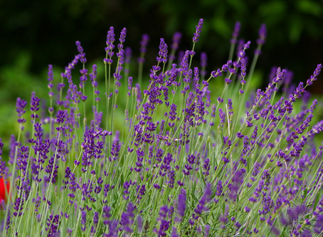 The Scent of Lavender