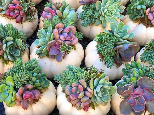 Trio White Pumpkin Succulents