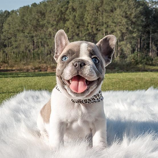 Bulldog Francês Blue Pied - Buldogue Francês Exótico - Frenchie - Bulldog French