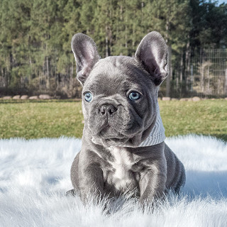 Bulldog Francês Blue - Buldogue Francês Exótico - Frenchie - Bulldog French