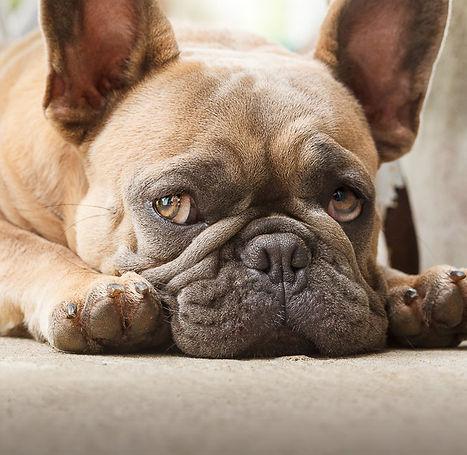 Bulldog Francês Blue Fawn - Buldogue Francês - Frenchie - Bulldog French
