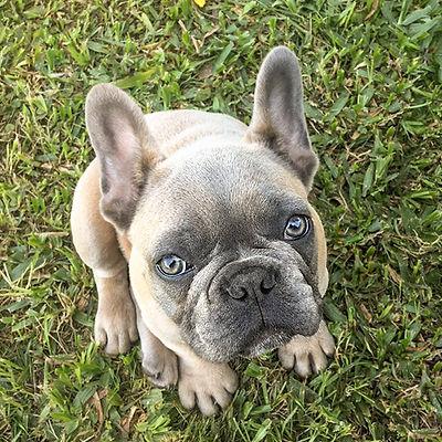 Filhote Bulldog Francês Blue Fawn Light - Buldogue Francês Exótico - Frenchie - Bulldog French