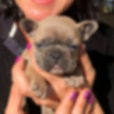 Filhote Bulldog Frances Blue Fawn em mãos