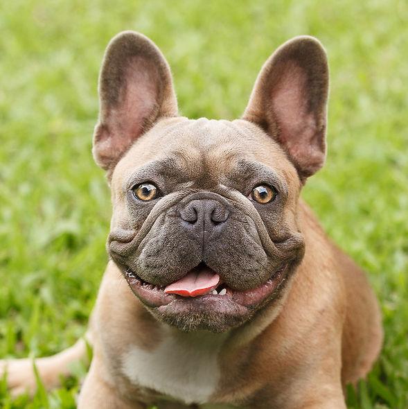 Bulldog Francês Blue Fawn - Buldogue Francês Exótico - Frenchie - Bulldog French