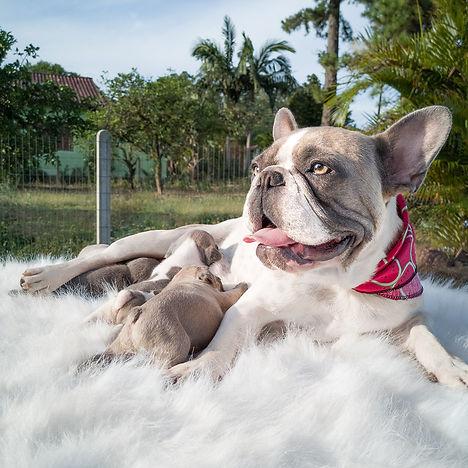 Bulldog Francês Blue Pied - Buldogue Francês - Frenchie - Bulldog French