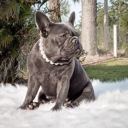 Bulldog Francês Blue - Buldogue Francês - Frenchie - Bulldog French