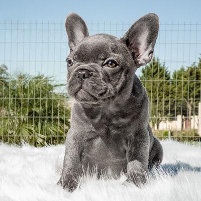 Filhote Bulldog Francês Blue - Buldogue Francês Exótico - Frenchie - Bulldog French