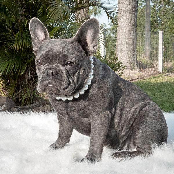 Adulto Bulldog Francês Blue - Buldogue Francês Exótico - Frenchie - Bulldog French