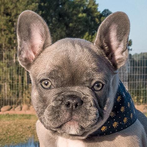 Bulldog Francês Blue Fawn Light - Buldogue Francês Exótico - Frenchie - Bulldog French
