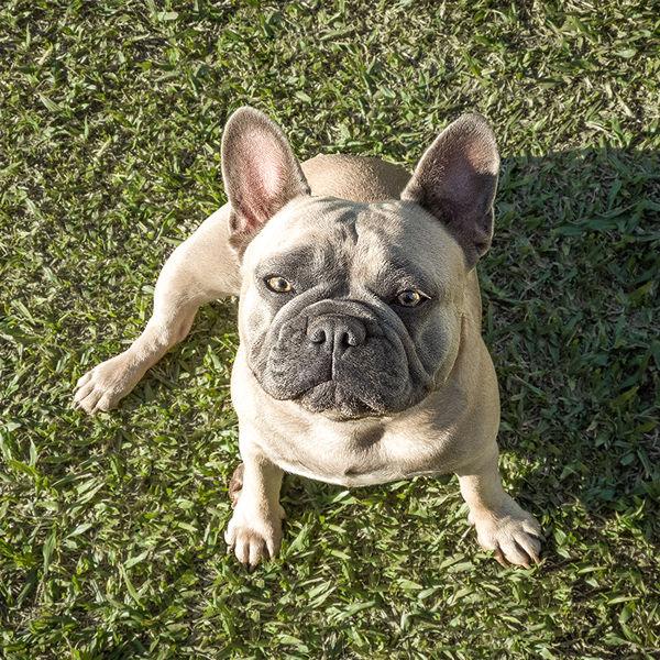Adulto Bulldog Francês Blue Fawn Light - Buldogue Francês Exótico - Frenchie - Bulldog French