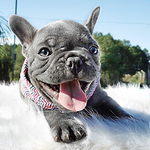 Bulldog Francês Blue - Buldogue Francês Exótico - Frenchie - Bulldog French