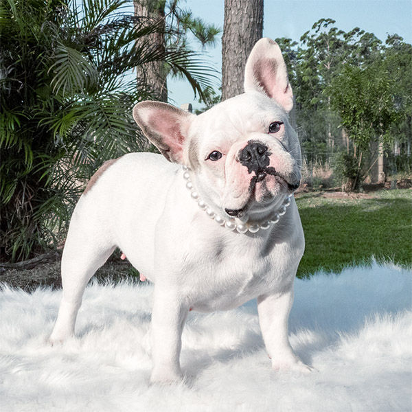 Adulto Bulldog Francês Branco - Buldogue Francês Exótico - Frenchie - Bulldog French white