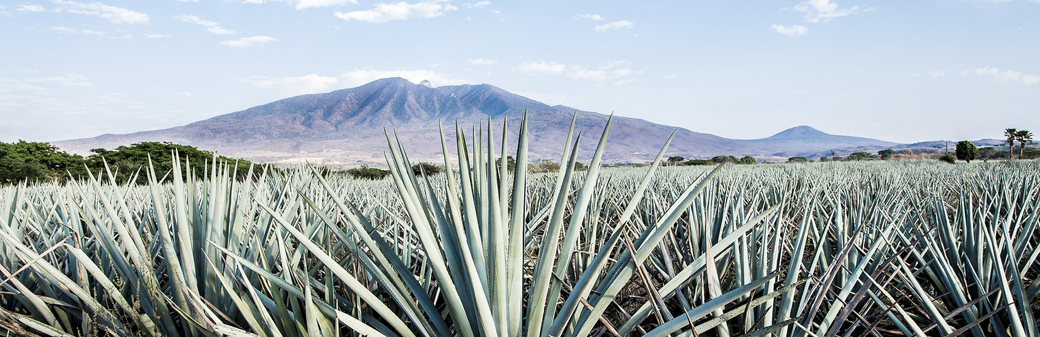 Tequila Agave Fields
