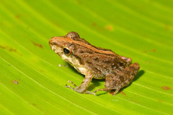 commom_rain_frog