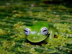 Ilex Glass Frog