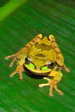 Copia de Masked Tree Frog 0708-028