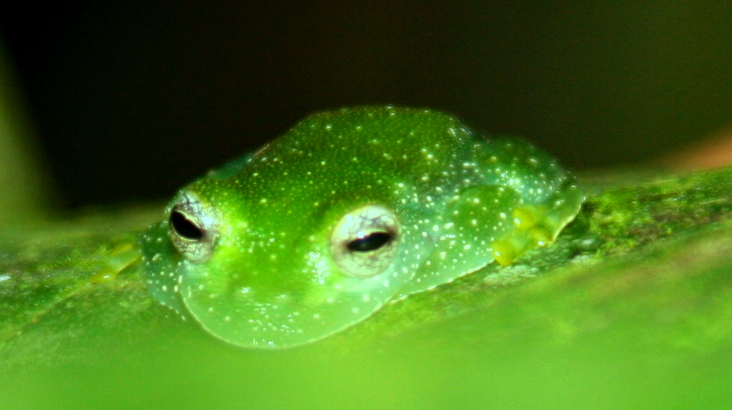 Lime-colored Glass Frog