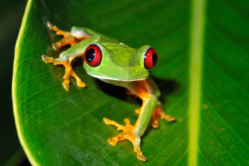 Copia de Red-eyed Tree Frog 0708-010