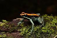 Sierpe Frogs.jpg