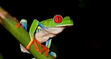 Copia de Red-eyed tree frog 2_edited.jpg