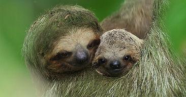 sloth 3 editado.jpg