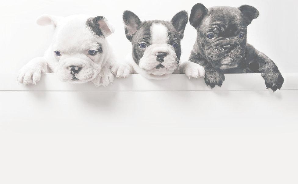 Three French Bullgod Puppies_edited_edit