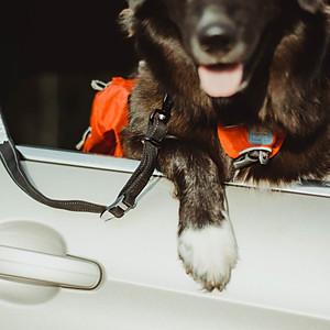Säker Canine