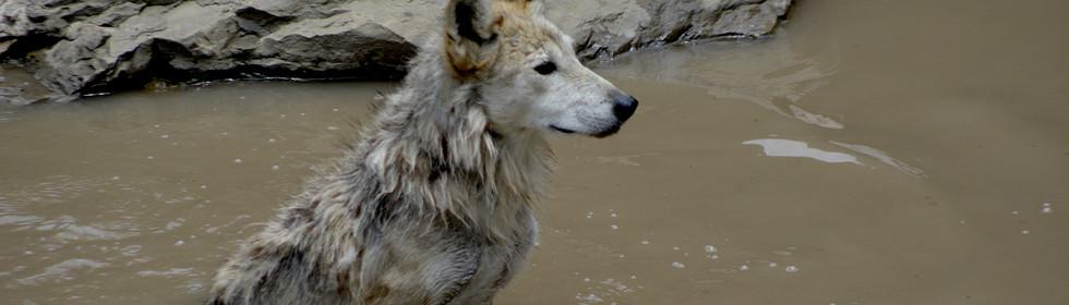Llop mexicà, Canis lupus baileyi
