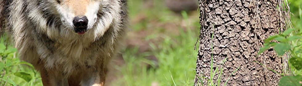 Llop mexicà, Canis lupus bailey