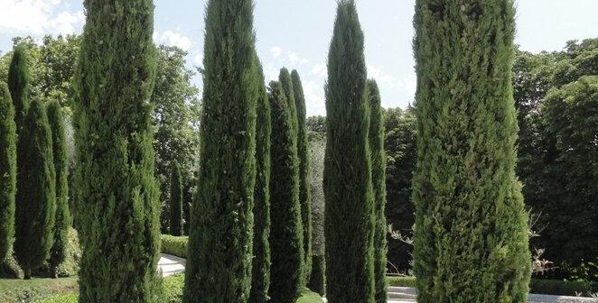 """Cupressus sempervirens """"Stricta"""""""