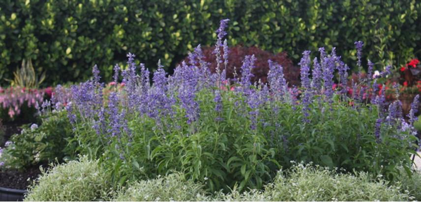 Salvia-farinacea-Annual-Flower-HERO-Cost