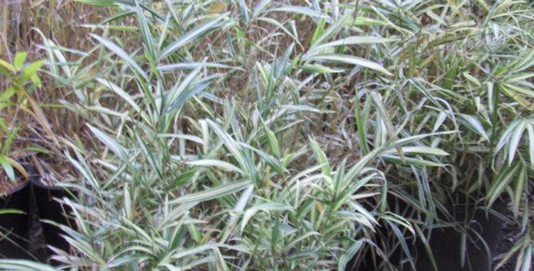 Pleioblastus pygmaeus variegata