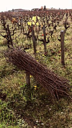Botte de sarment vigne Château Lacour J