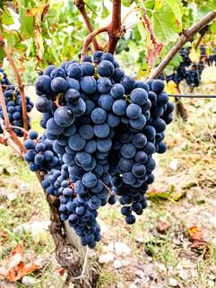 Château Lacour Jacquet vigne Raisins.jp