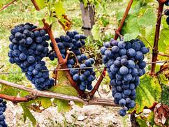 Château Lacour Jacquet grappes de raisi
