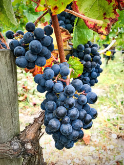 Château Lacour Jacquet vigne.jpg