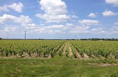 Château Lacour Jacquet Vignes exposées